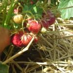 Egna jordgubbar